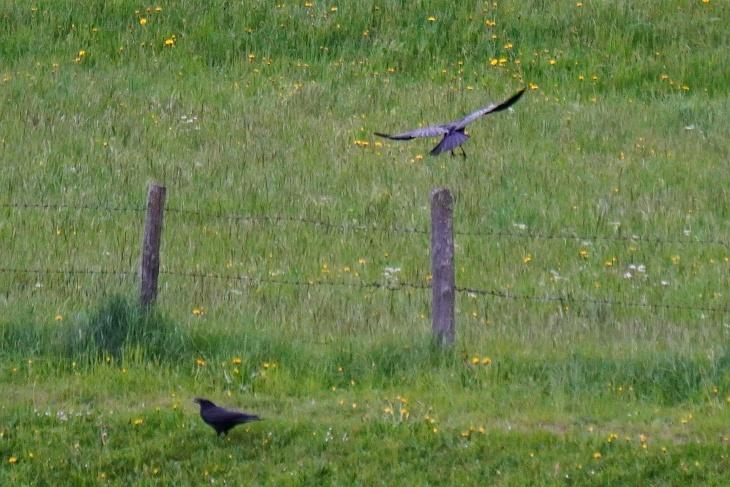 Ein Krähenpaar führt seit einigen Tagen Erkundungsflüge in den Nachbargärten durch, am 11.05.2020 war eine sogar auf unserer Terrasse.