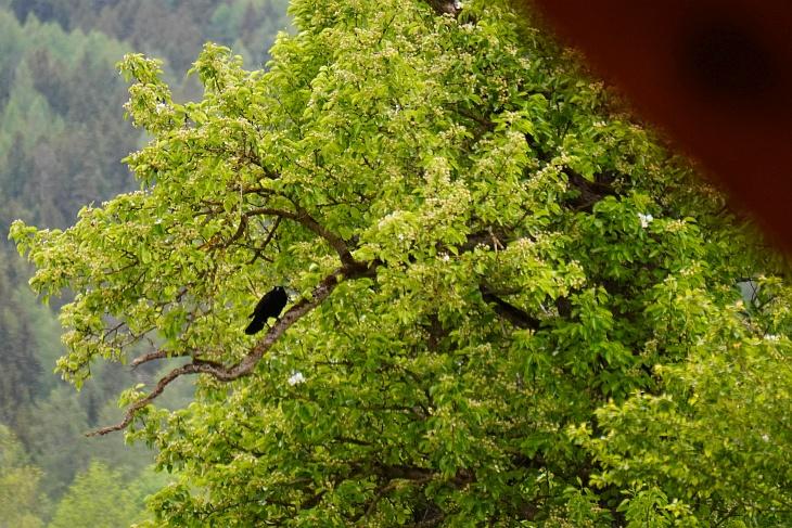 Auch am 13. Mai beäugt das Hitchcock-Monster längere Zeit vom Nachbarbaum aus unser Amsel-Gelege.