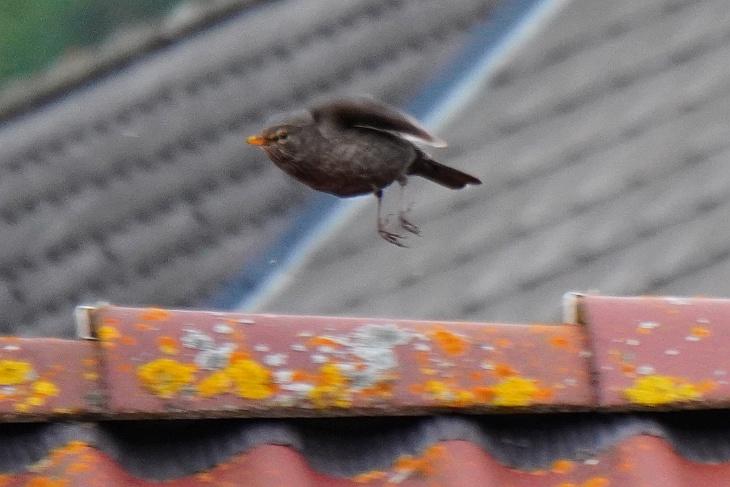 ... und sie sich auch bei ihren Anflügen nicht mehr daran stört, wenn ich auf der Terrasse stehe ...