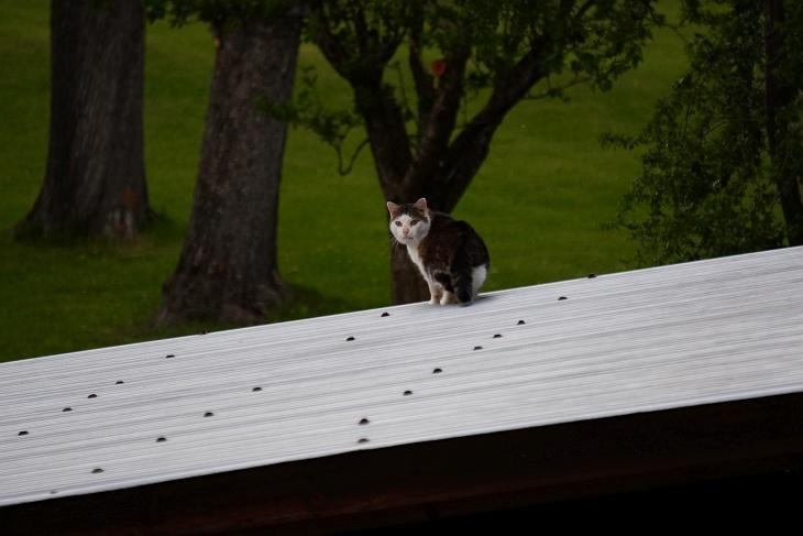 Eine weitere Katze hat sich heute in der Nachbarschaft eingefunden. Mit ihrem Sprung auf das Garagendach sorgt sie für hysterisches Gezwitscher in den umliegenden Bäumen.
