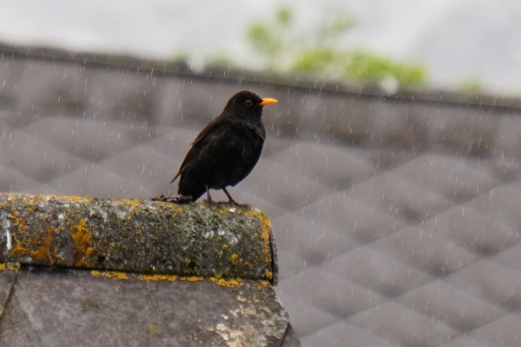 15.05.: Heut hält sich Erdschi auffallend lange in Sichtweite des Nestes auf und präsentiert seiner Liebsten die schönsten Melodien. Entweder genießt er nur den Nieselregen oder es tut sich bald etwas im Nest ...