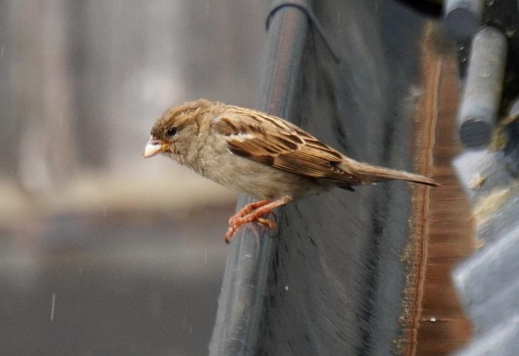 Auch Nieselregen kann die Spatzen nicht von der pausenlosen Versorgung des zwitschernden Nachwuchses abhalten.