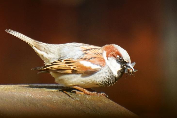 Der Spatzen-Vater des Nestes unter der Regenrinne hat jetzt einen neuen Startpunkt für den Anflug auf´s Nest auserkoren. Nur ca. 4 bis 5 Meter von unserem Fenster entfernt kann ich ihn gut beobachten.