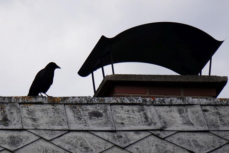 Die Krähe hat seit einigen Tagen einen neuen Lieblingsplatz: Am Dach des Nachbarhauses mit Blick zum Amselnest