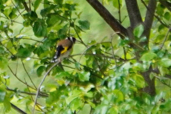 21.05.2020: Heute konnte ich endlich einen der farbenprächtigen Stieglitze ablichten, allerdings war der Vogel sehr weit entfernt und die Lichtverhältnisse bescheiden.