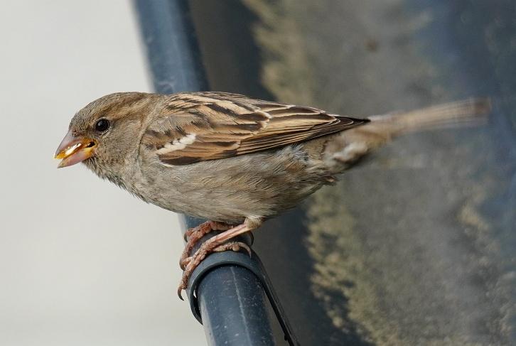 ... wenn Spatzen-Mutter nicht ungehindert zum Nest unter unserer Regenrinne kann, wenn ich auf der Terrasse stehe.