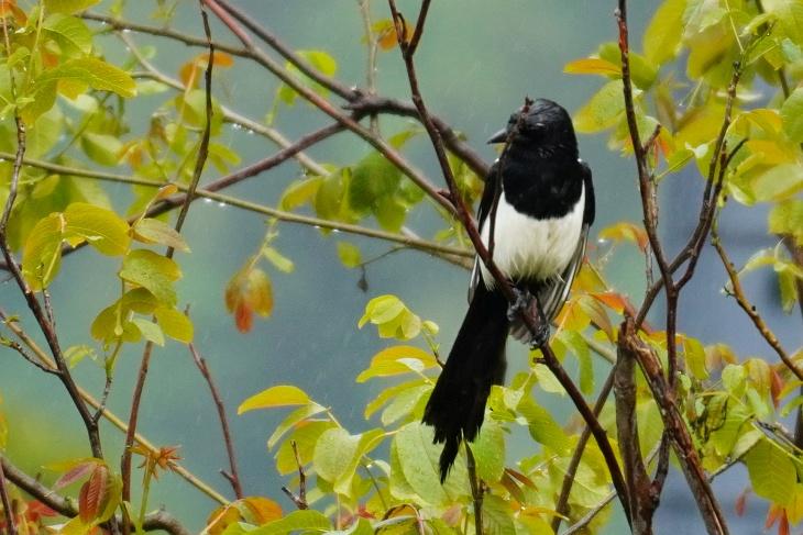 28.05.2020: Wieder sorgt eine Elster für Aufregung in der Vogelwelt. Dieses Mal im Ost-Revier am Nussbaum.