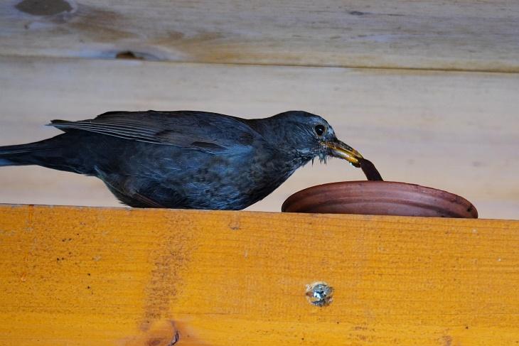 """Seit einigen Tagen erhält sie Fütterungs-Unterstützung von einem """"anonymen Wurmspender"""". Die Geschenke nimmt sie gerne an. 30 cm vom Nest entfernt steht häufig ein gefülltes Schüsselchen."""