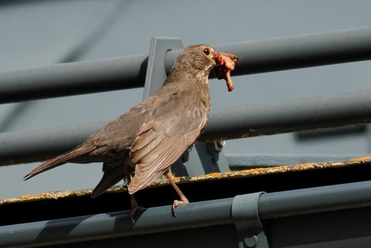 Dennoch geht der Hauptanteil der Jagderfolge noch zum Nest.