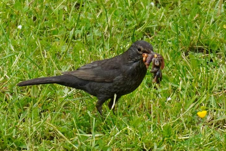 Da behaupte noch einer, Amsel-Weibchen könnten mit 1 bis 2 Würmern nur einen Bruchteil der Männchen in den Schnabel bekommen.