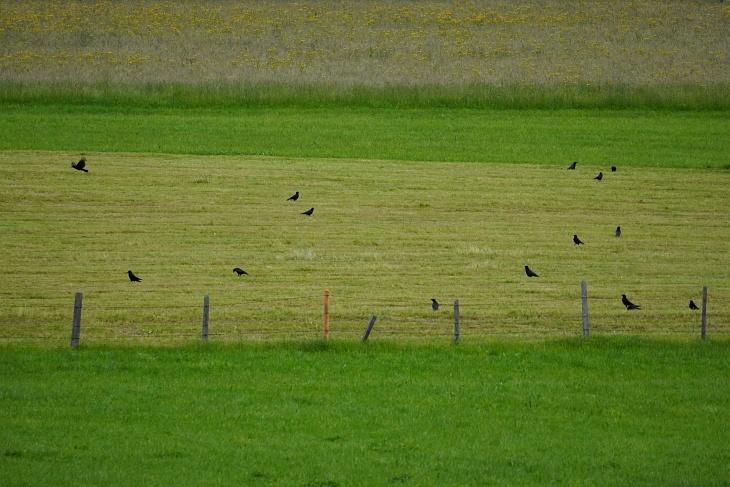 Auf den Feldern dürfen sie sich ruhig auch in Massen aufhalten, solange sie den Wohnhäusern mit ihren Amselnestern fernbleiben.