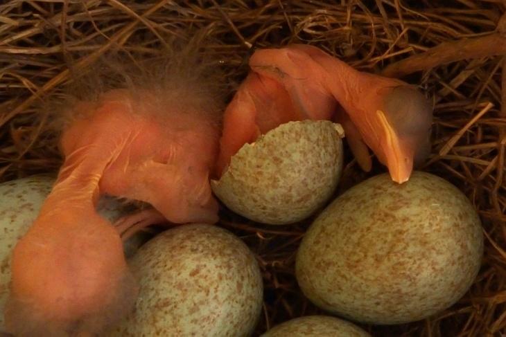 18.05.2020 - 18:30 Uhr: Amsel-Baby Nummer zwei sitzt noch halb im Ei.