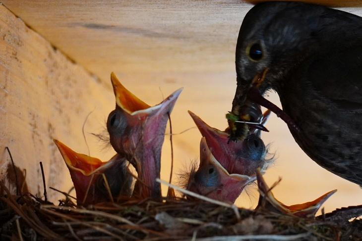 Unentwegt schafft die fleißige Eilin Nahrung für ihre 6 Küken heran. Von links nach rechts: Moritz, Stevie (Urkel - der mit dem längsten Hals), Ylvi (ganz winzig schaut in der Mitte das Schnäbelchen heraus), Max, dahinter Calimero und ganz rechts der weit geöffnete Schnabel von Pippi.