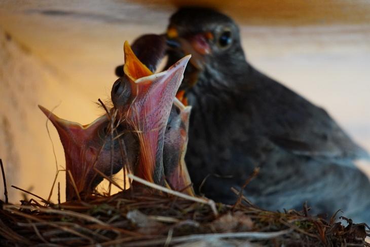 Ich hoffe, dass nicht nur die längsten Hälse genügend Futter bekommen, sonden auch die beiden Nachzüglicher Pippi und Ylvi zum Zug kommen, obwohl sie erst kaum über den Nestrand blicken können.
