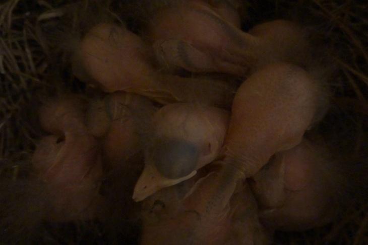 Tag 3 bzw. 2 auf dieser Welt. Ich habe mir jetzt einige Videos in Super-Zeitlupe ansgesehen und eines der aussagekräftigsten Bilder extrahiert. Eventuell habe ich mich gestern verschaut und es gibt doch 6 Küken im Nest. Leider macht es das trübe Wetter nicht einfacher, im halbdunklen Gewusel aus langen Hälsen, blinden Augen, kleinen Schnäbeln, und von Gänsehaut (oder heißt das hier Amselhaut) überzogener nackter Haut - geziert von ein paar im Wind flatternden Flaumfedern - eine aussagekräftige Zählung durchzuführen.