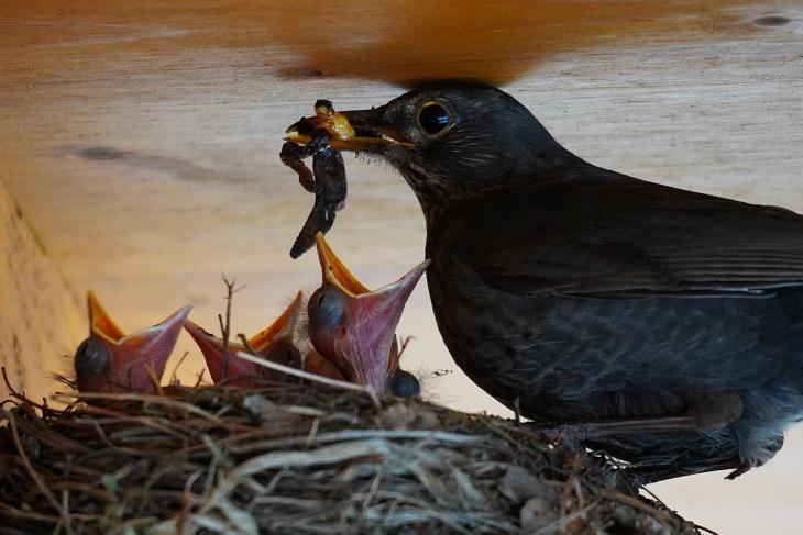 Unglaublich wie viele Würmer ein einziger Vogel an einem einzigen Tag heranschaffen kann. Die Augen der Küken beginnen sich bereits leicht zu öffnen.