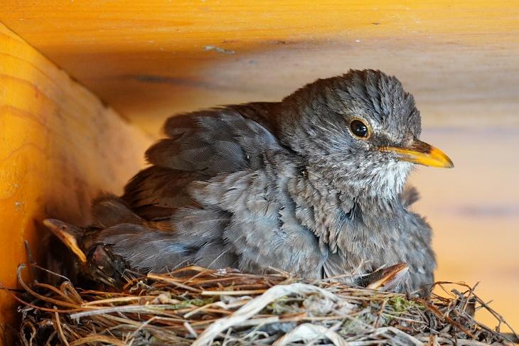 ... entwickeln sich die Amsel-Jungen prächtig und genießen es unter der Mama zu sitzen und die Schnäbelchen über den Nestrand zu schieben.