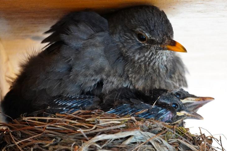 Schön langsam wird es für die 5 Amsel-Küken und die Amsel-Mama eng im Nest.