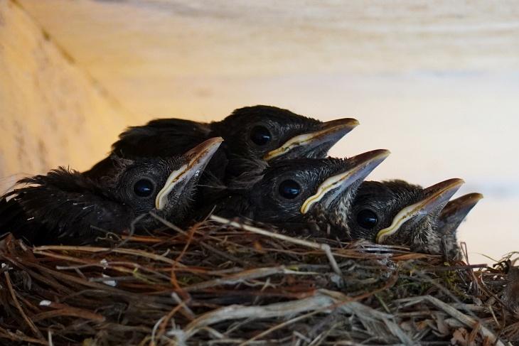 """30.05.2020: Wie lange werden unsere 5 """"Orgelpfeifen"""" noch gemeinsam im Nest sitzen? Von links nach rechts: Ylvi, Stevie (oben), Calimero, Moritz, Pippi"""
