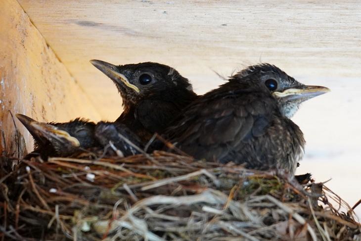 Da wusste ich noch nicht, dass Eilin heute das erste Mal seit dem 5. Mai nicht mehr im Nest übernachten würde. Damit ist es an den Beiden Großen - Stevie und Calimero - für die nötige Nestwärme für die Kleineren zu sorgen. Das Gefieder der beiden hat von gestern auf heute wieder deutlich merkbar zugenommen.