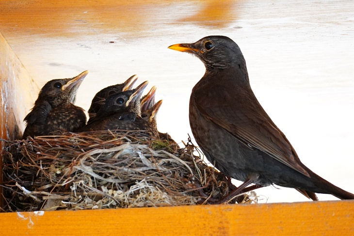 01.06.2020: Das letzte Mal, dass alle 5 Geschwisterchen mit der Mama beim Nest vereint sind.