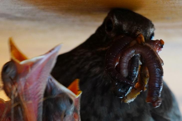 Hoffentlich kann Eilin ihre Ausdauer und Kraft beibehalten, denn selbst essen sieht man sie nur sehr selten. Bei ihren Kindern aber sorgt sie für viel Abwechslung: Ob Viererlei vom Wurm (in Braun, rötlich, schwarz und beige) ...