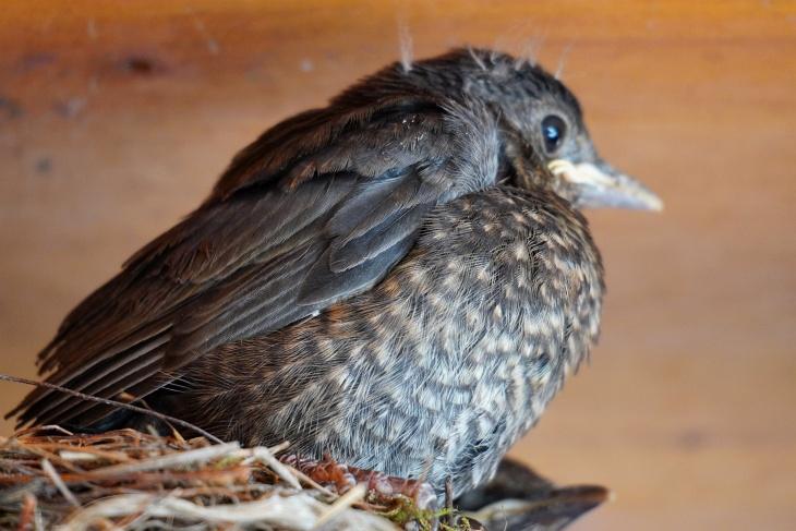 Am 1. Juni ist Moritz noch ein Nestling ...