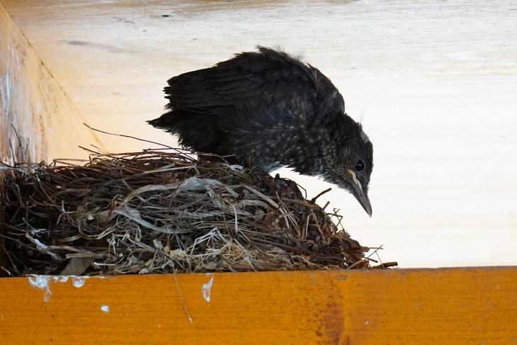 Pippi ist die Vierte und Vorletzte, die es nicht mehr im Nest hält.