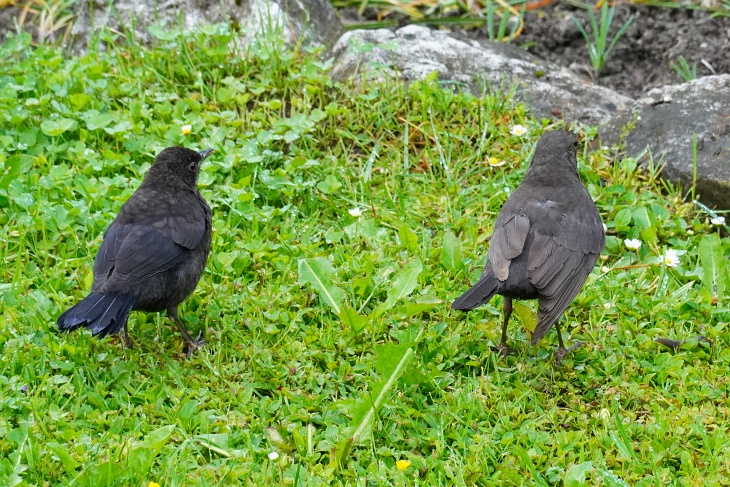 Amsel-Mutter mit Küken
