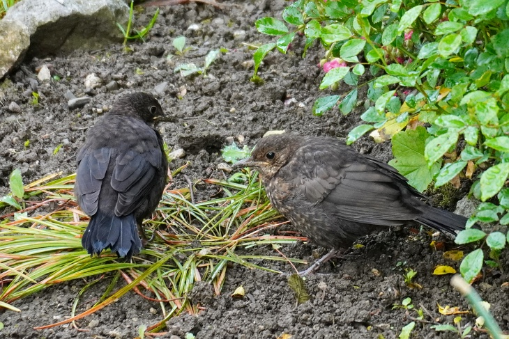 Amsel-Teenager