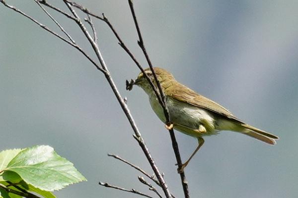 Aber immerhin muss ich mich erst langsam von meiner Vogelsucht entwöhnen. Heute gelang es mir erstmals, den schon so oft gehörten Zilpzalp zu fotografieren, der es sogar schafft, trotz gefülltem Schnabel seinen Namen zu rufen.